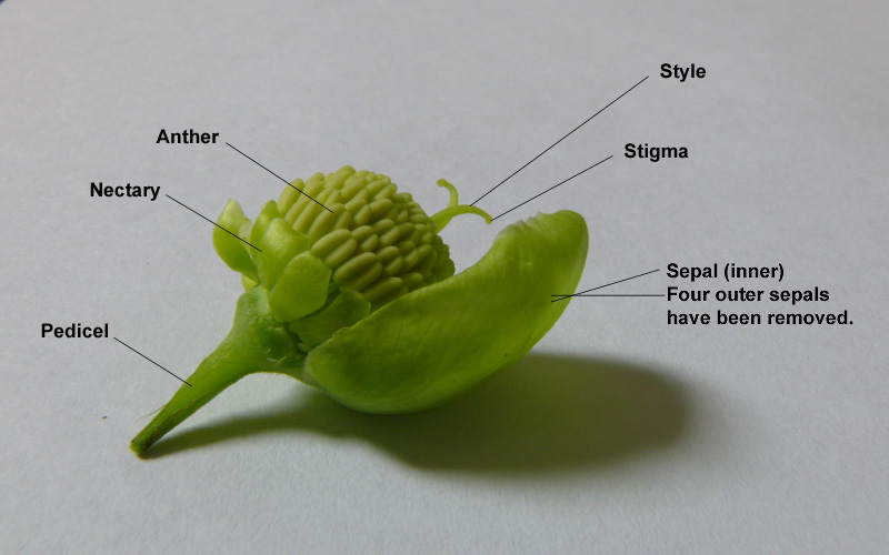 Anatomy of a hellebore flower, showing the tiny petals, or nectaries and the much larger sepals which create those breathtaking flowers.