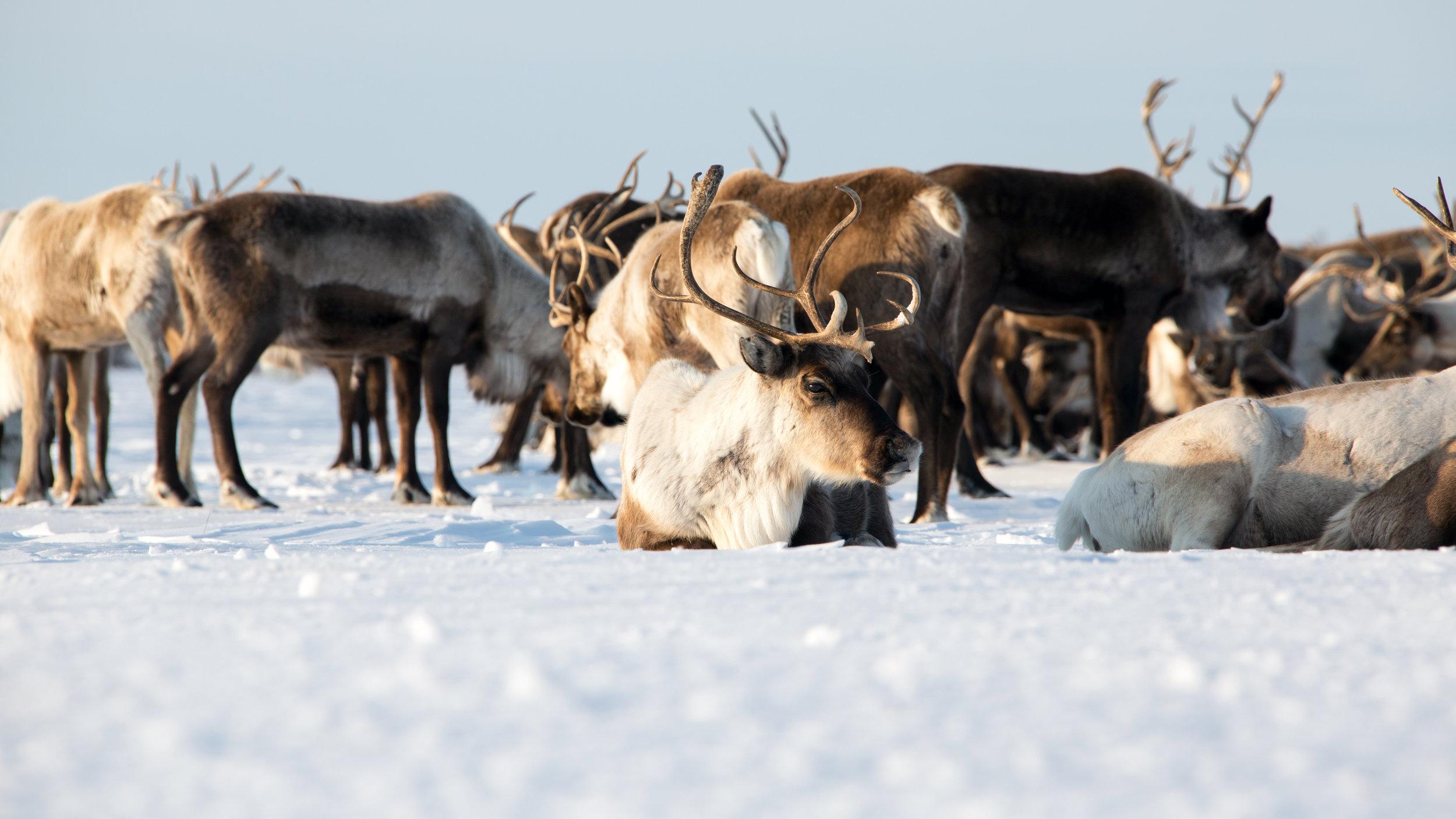 reindeer-in-kamchatka-russia.jpg