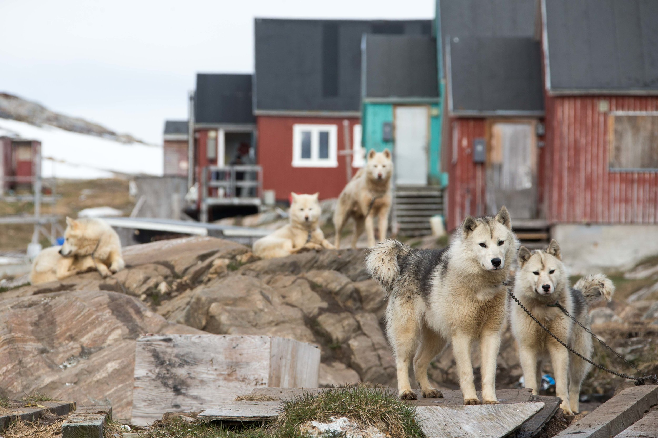 Sled dogs in front of a house in Kuummiut, Greenland.