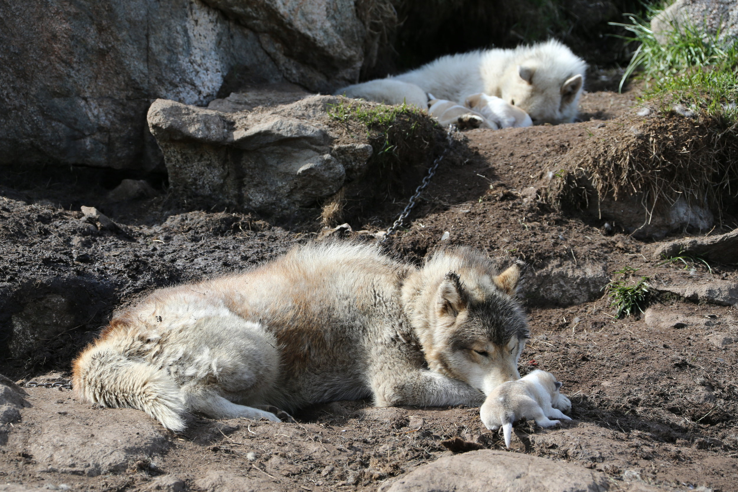 Sled dogs take care of their pups in Kulusuk, Greenland.