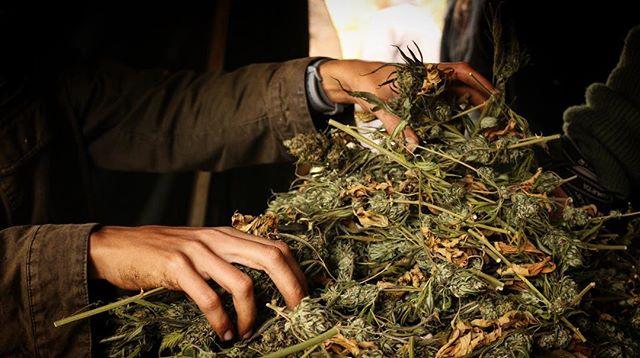 Beautiful strong hands. So much gratitude for the incredible steadfast hardworking people that trim for us. #hands #cannabis #organiccannabis #magicalplace #trimscene #trimmers #curedcannabis #cannabiscures #weed #cannabiscultivators #humboldtgrown #humboldt #hightimes #cannabisphotgraphy #growerslife #queerstoners #queertrimmers #queermagic #womenwhogrow #ganjapreneur #pot #420 #sativa #indica #thc #cbd #medicalmarijuana #mmj #maryjane #beautifullighting