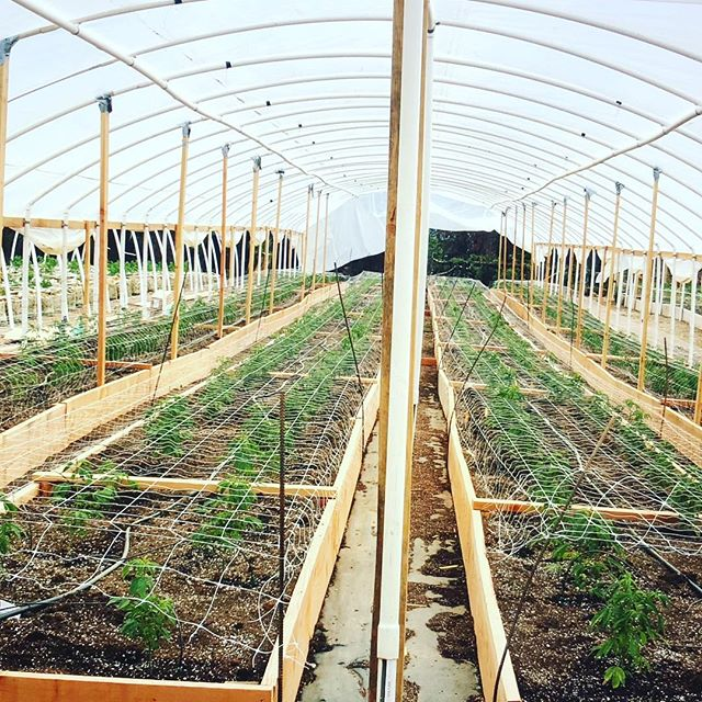 Young Ladies #spring #cannabis #cultivation #culture #weed #sourdeisel #humboldt #permited #grow #womenincannabis #weouthere #hardwork #greenhouse #raisedbeds