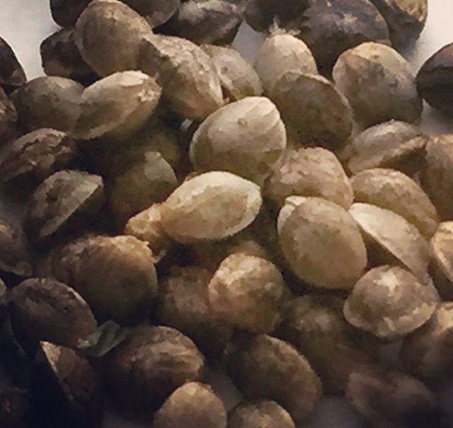 seeds #seedstarts #cannabis #culture #humboldt #humboldtcounty #cultivation #farm #permited #greenhouse #ogkush #blackfirfarms