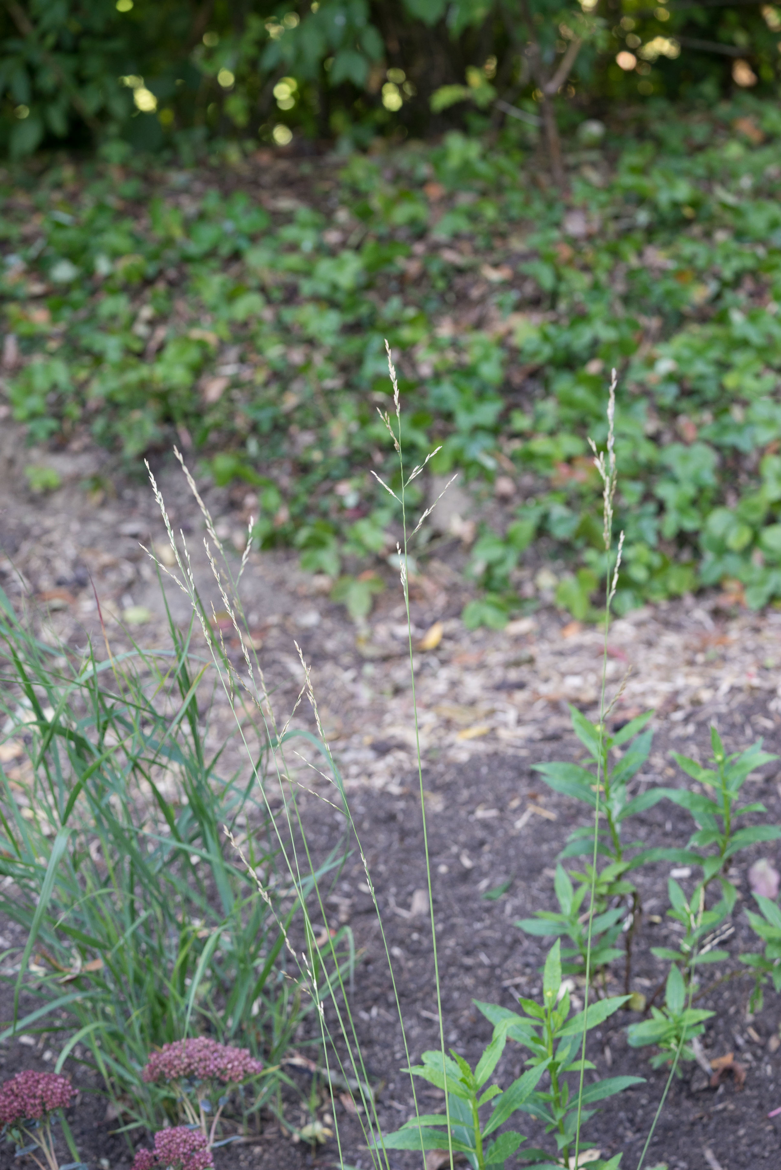 Molinia arundinacea 'Transparent' 4. Oktober 2016