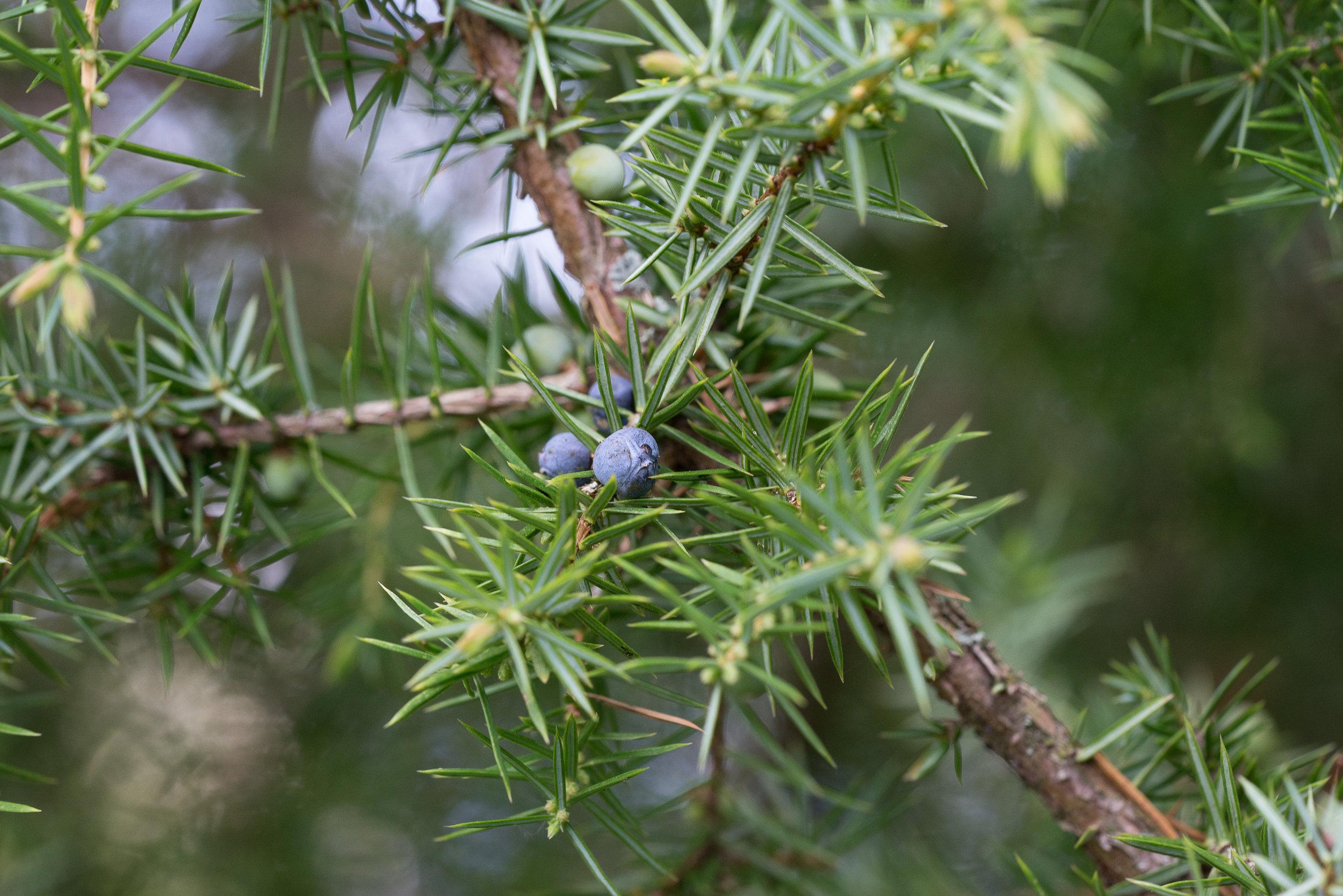 Juniperus communis (Weibchen mit Beeren) 5.4.2017