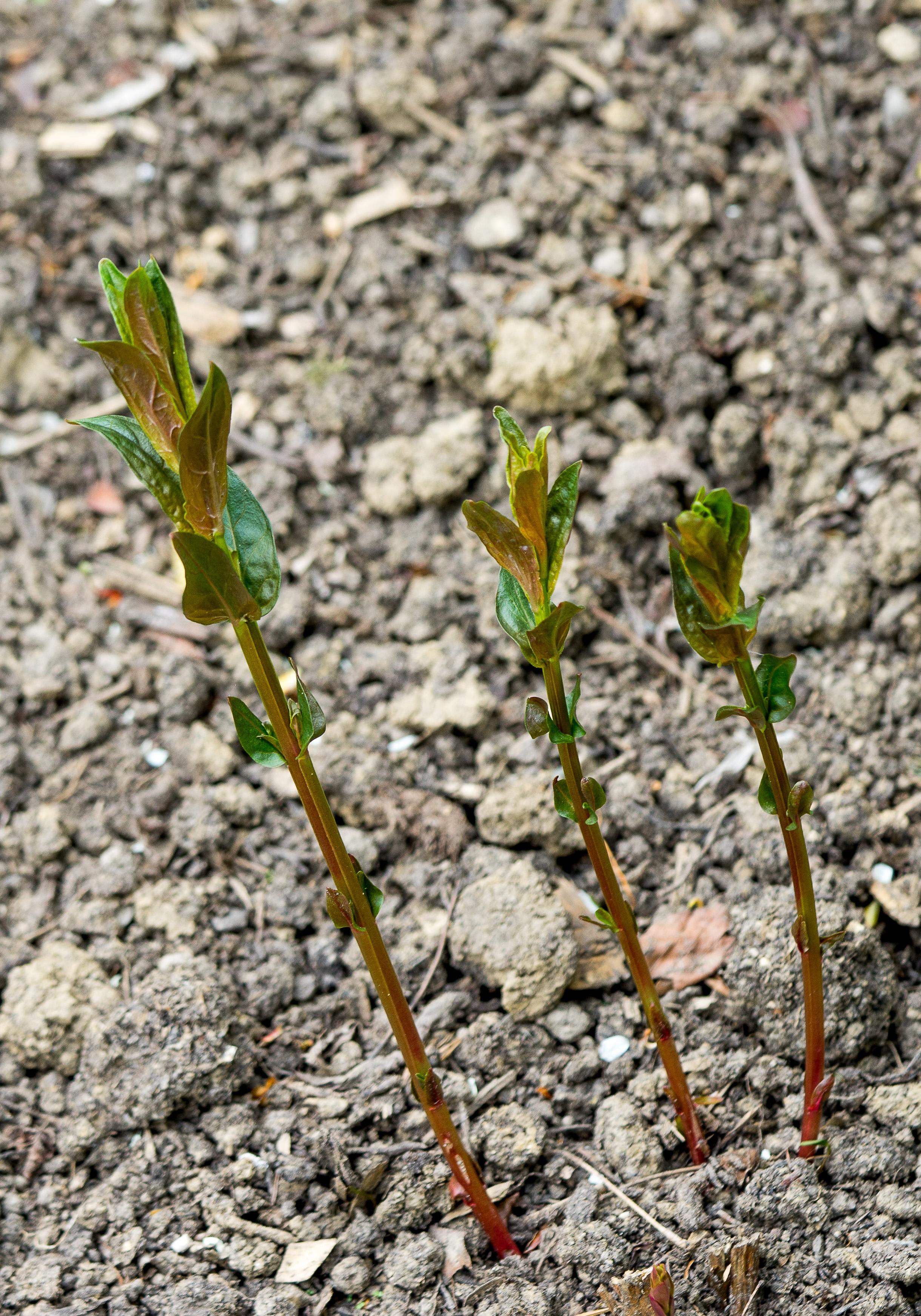 Lythrum salicaria 11.4.2017