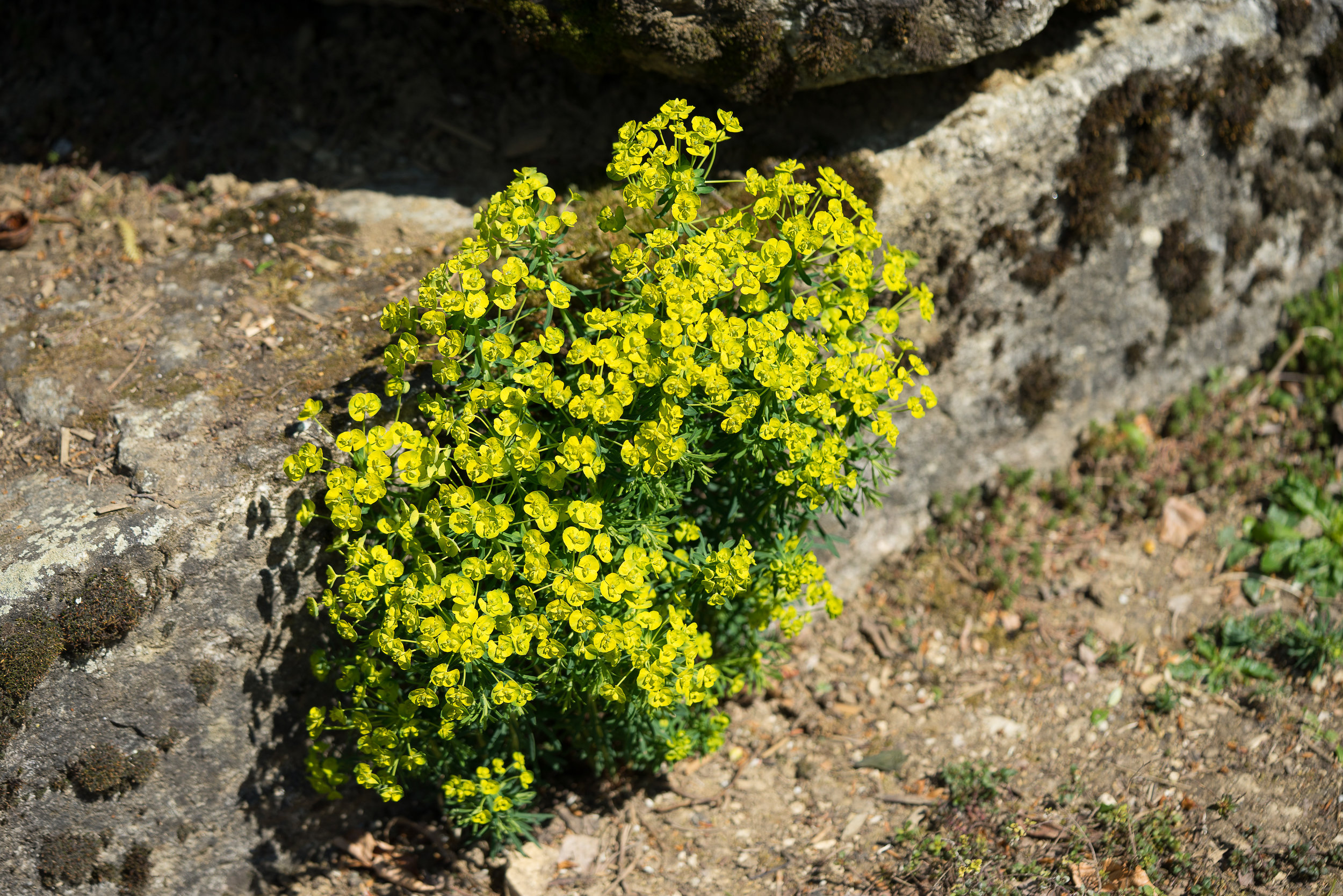 Euphorbia zyparissia (Wolfsmilch) 20.4.2017
