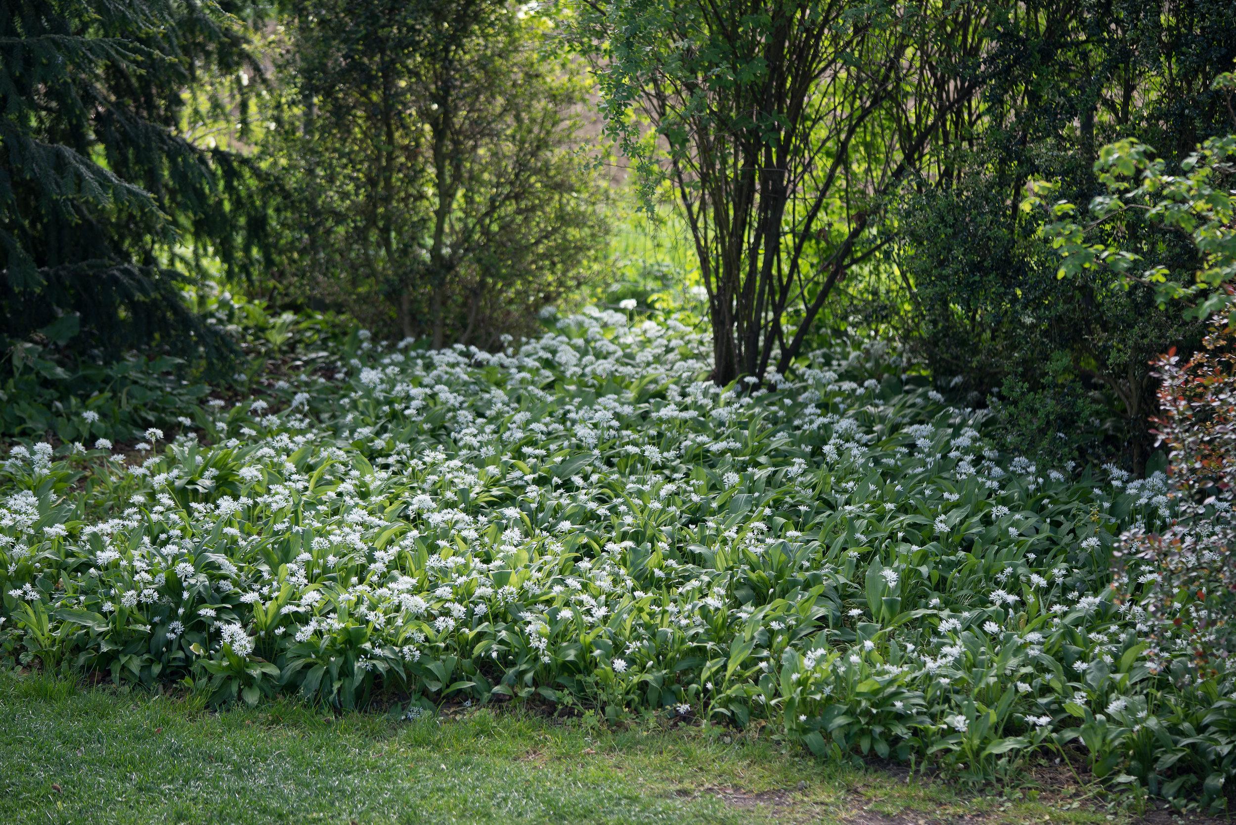 Allium ursinum (Bärlauch) unter der Buche 23.4.2017