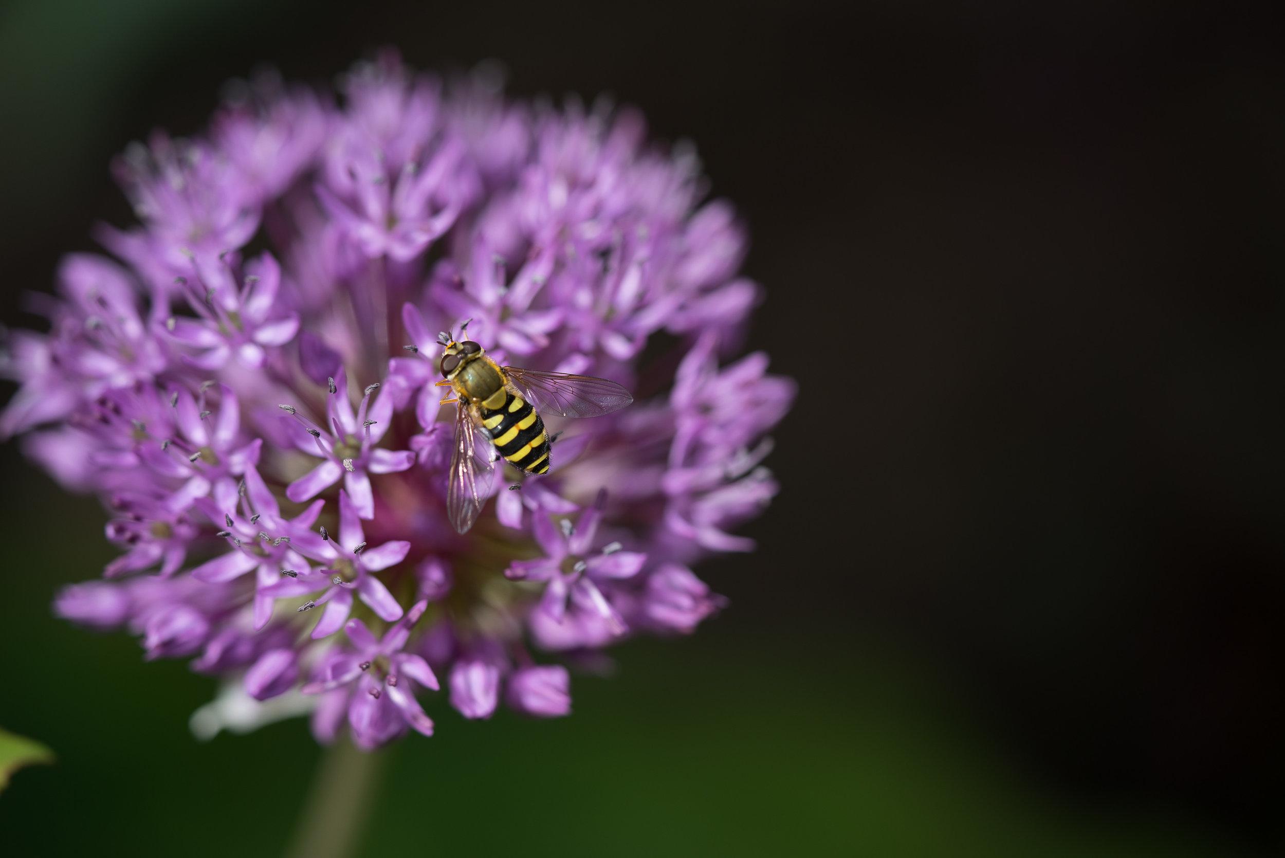 Allium aflatunense 'Purple sensation' (Purpurkugellauch) 30.4.2017