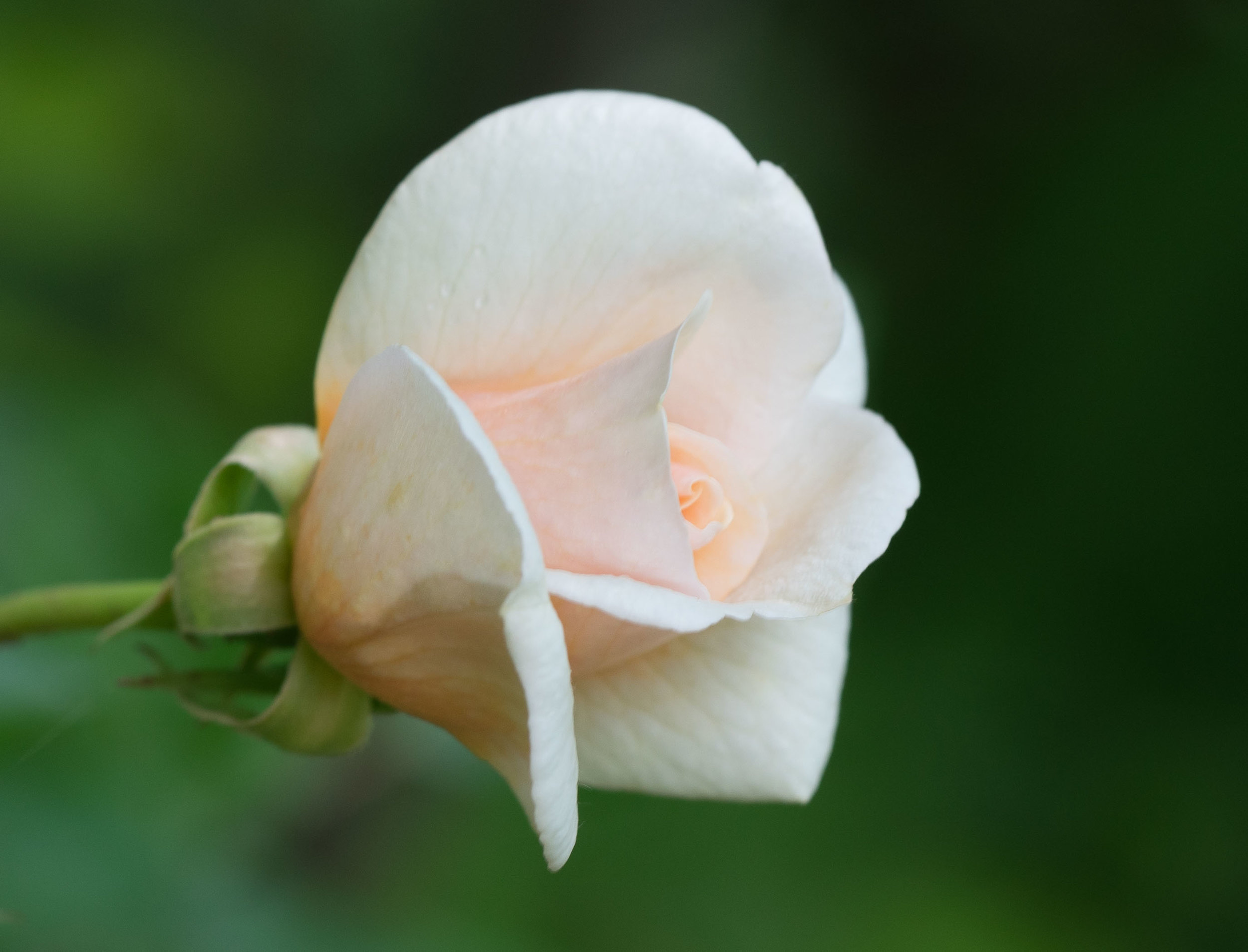 'Perle d´Or'