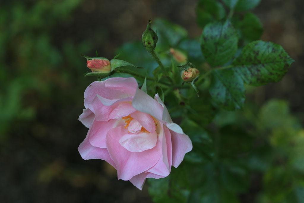 'Pink robusta'