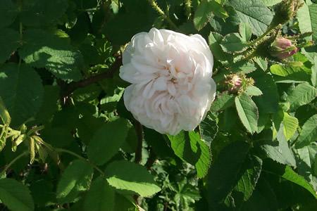 'White Moss'