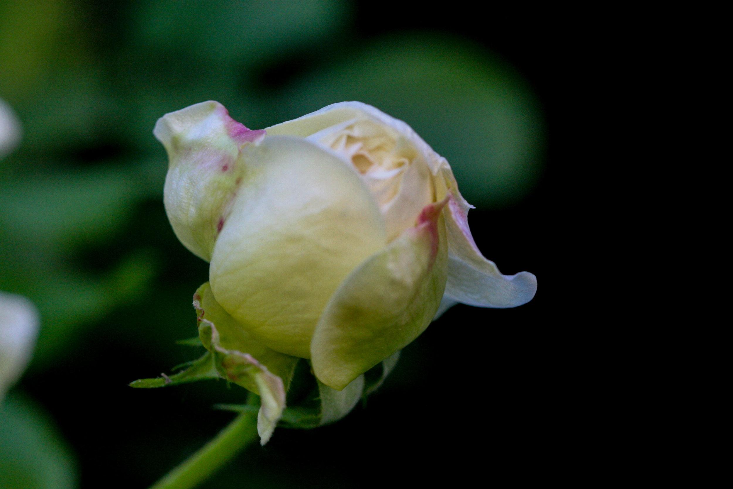 'Desprez Fleurs Jaunes'