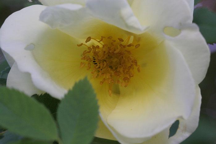 'Frühlingsgold'