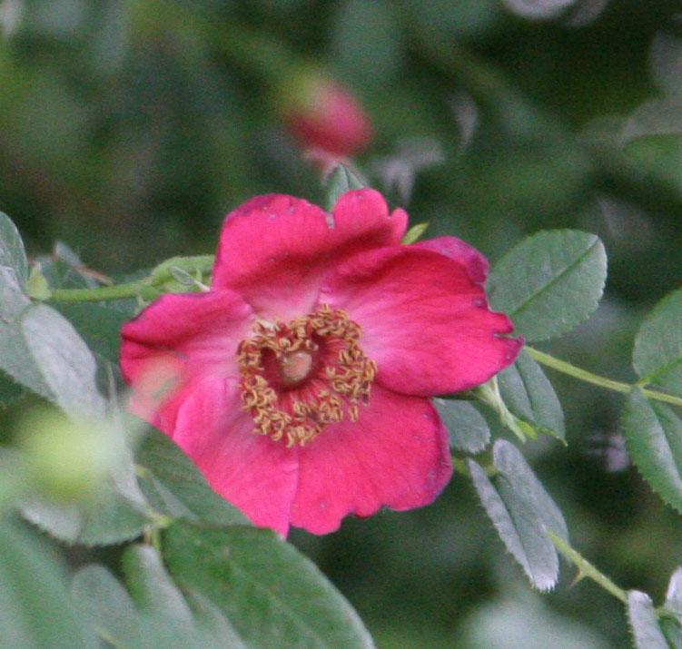 'Geranium'