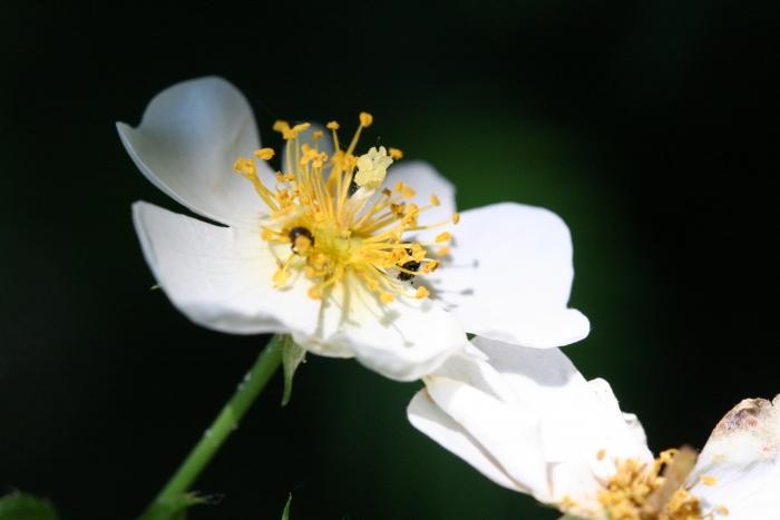 'Rosa Longicuspis'