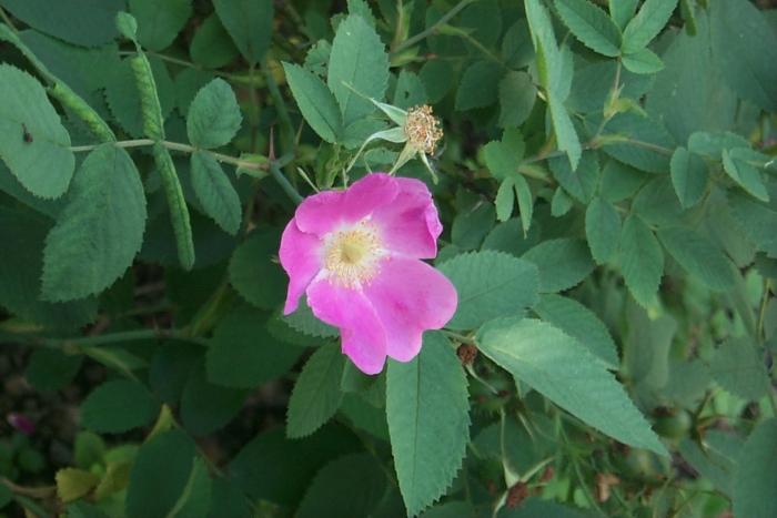 'Apfelrose'