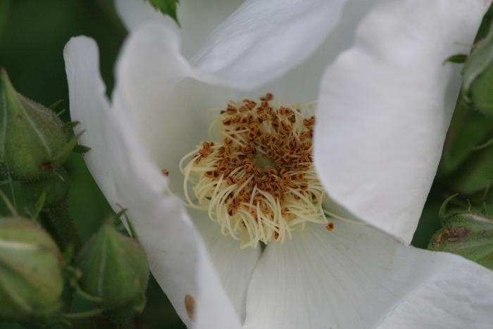 R. macrantha