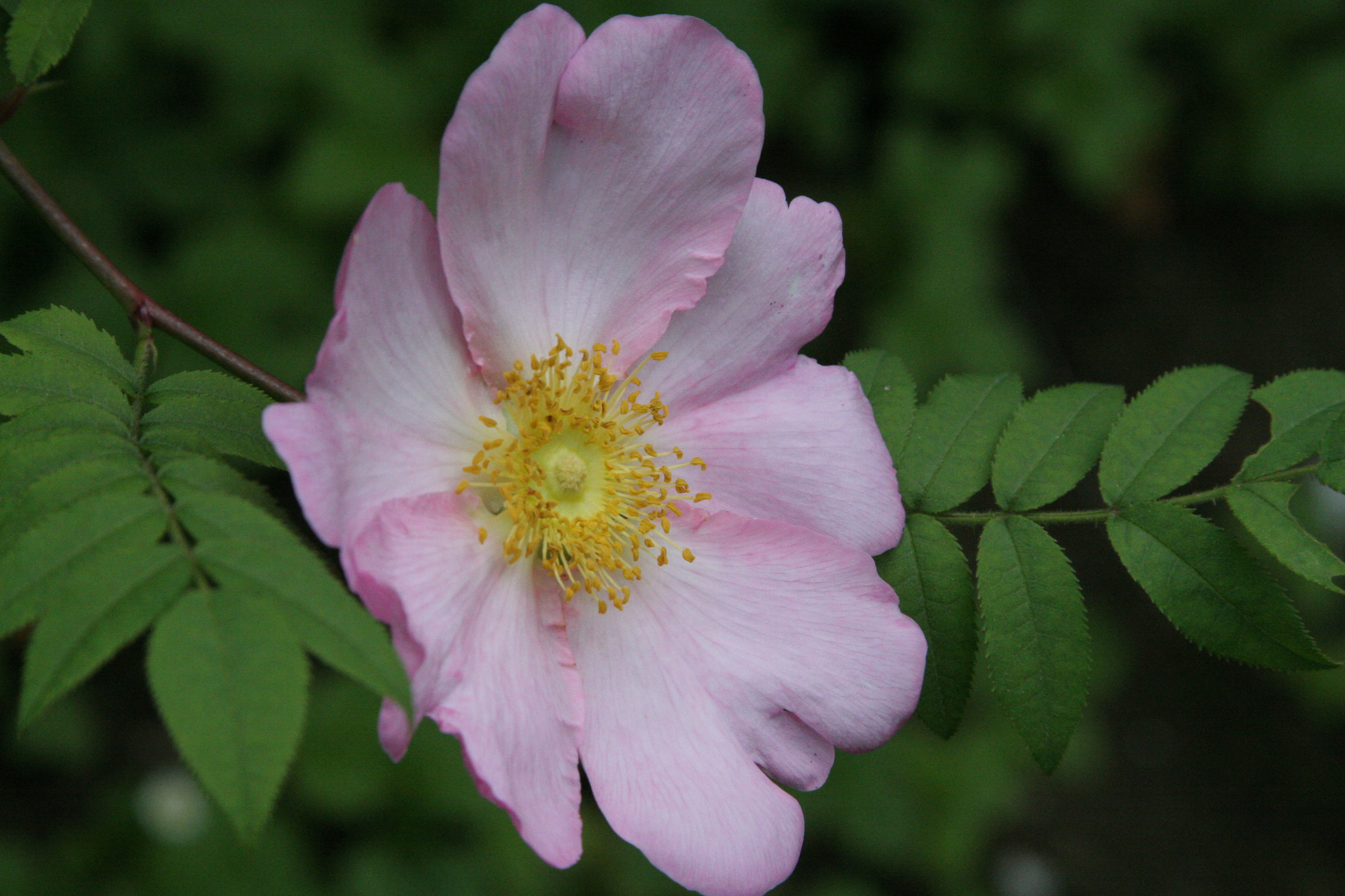 R. roxburghii