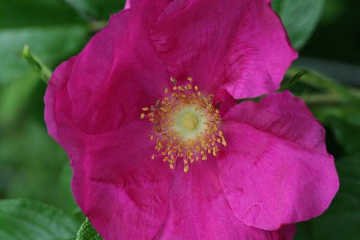 R. rugosa rubra