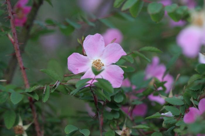 R. willmottiae