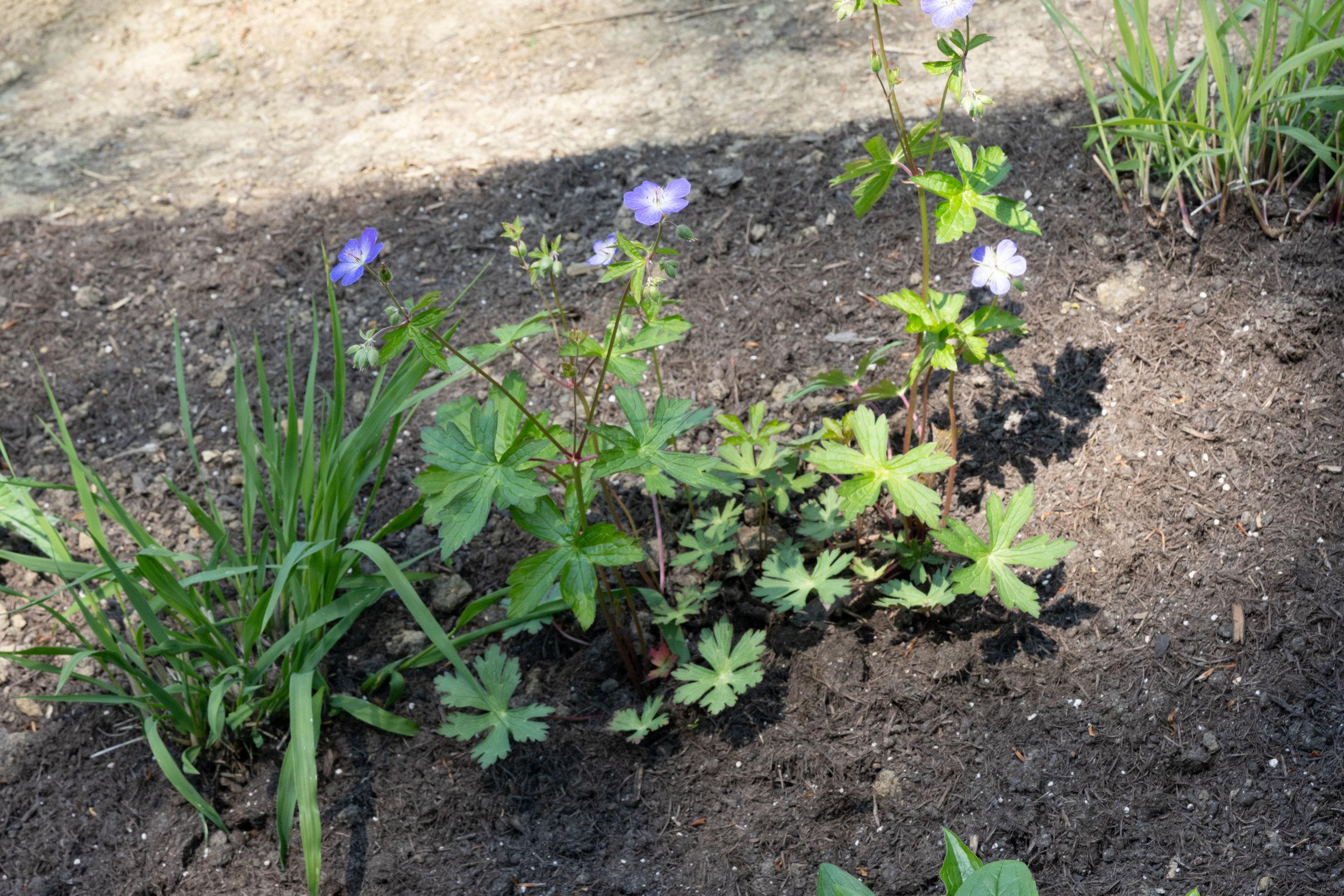 Geranium maculatum (Typ Oudolf) 1.5.2019