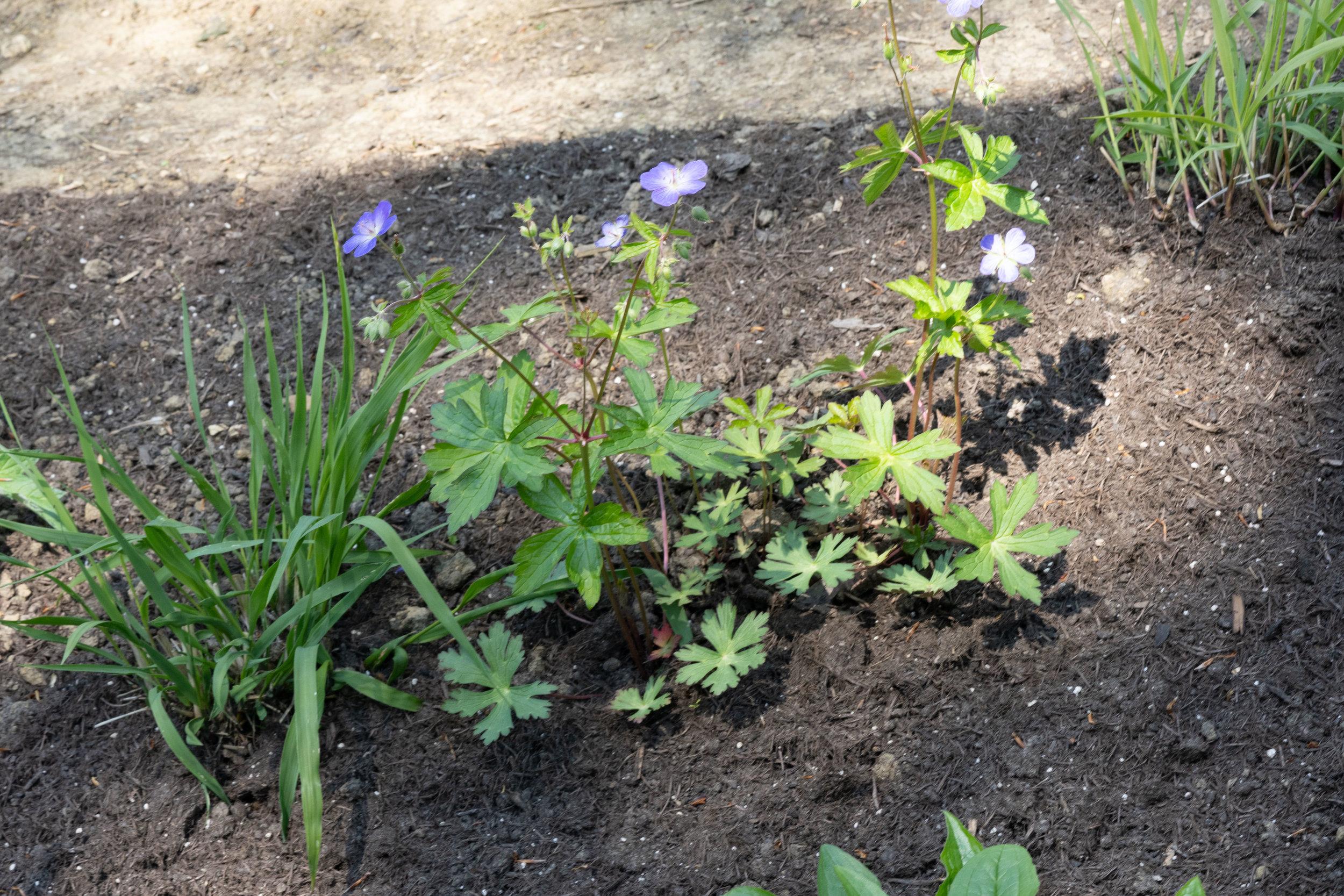 Geraniummaculatum (Typ Oudolf) 1.5.2019