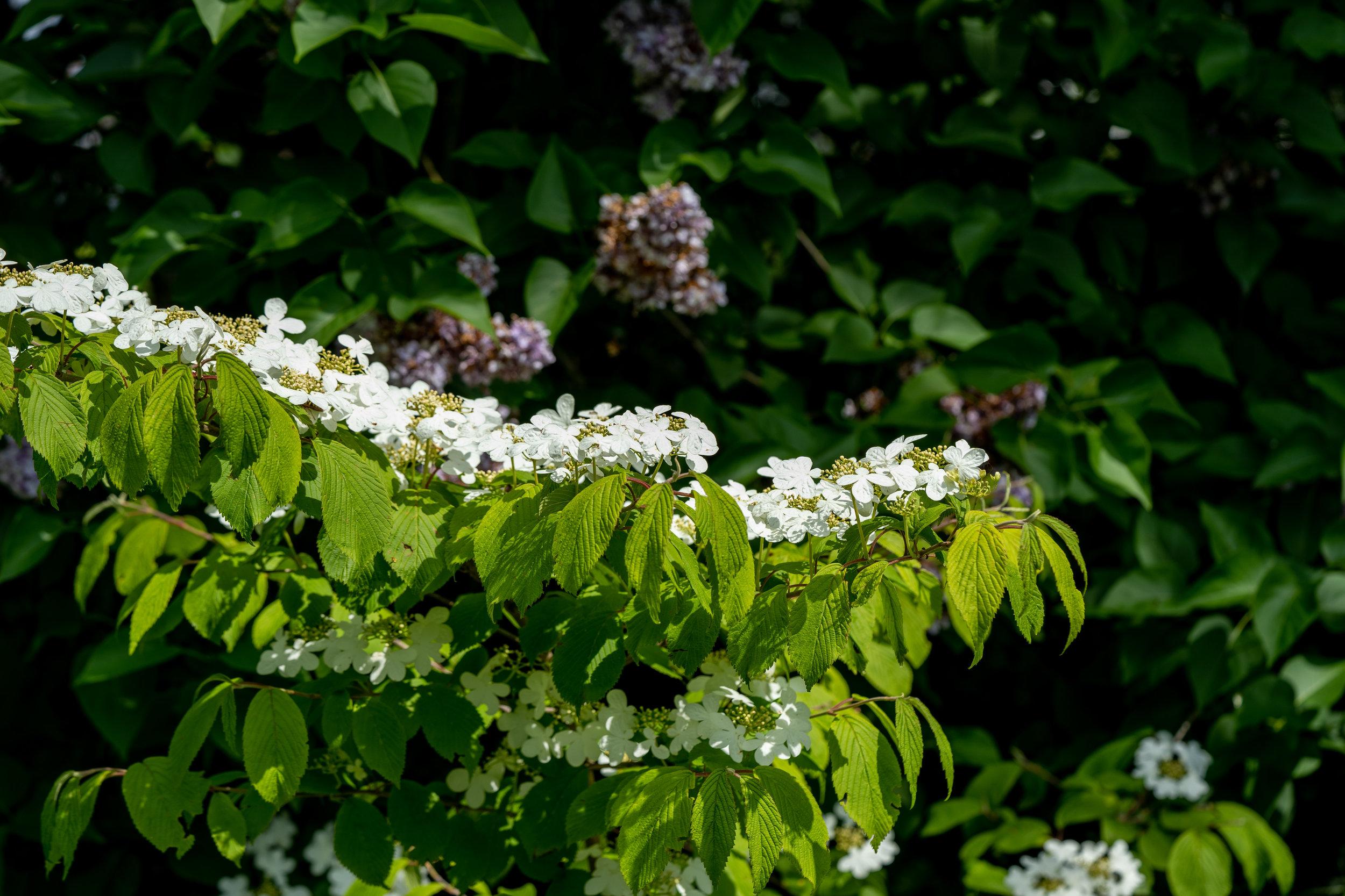 Viburnum plicatum mariesii 24.5.2019