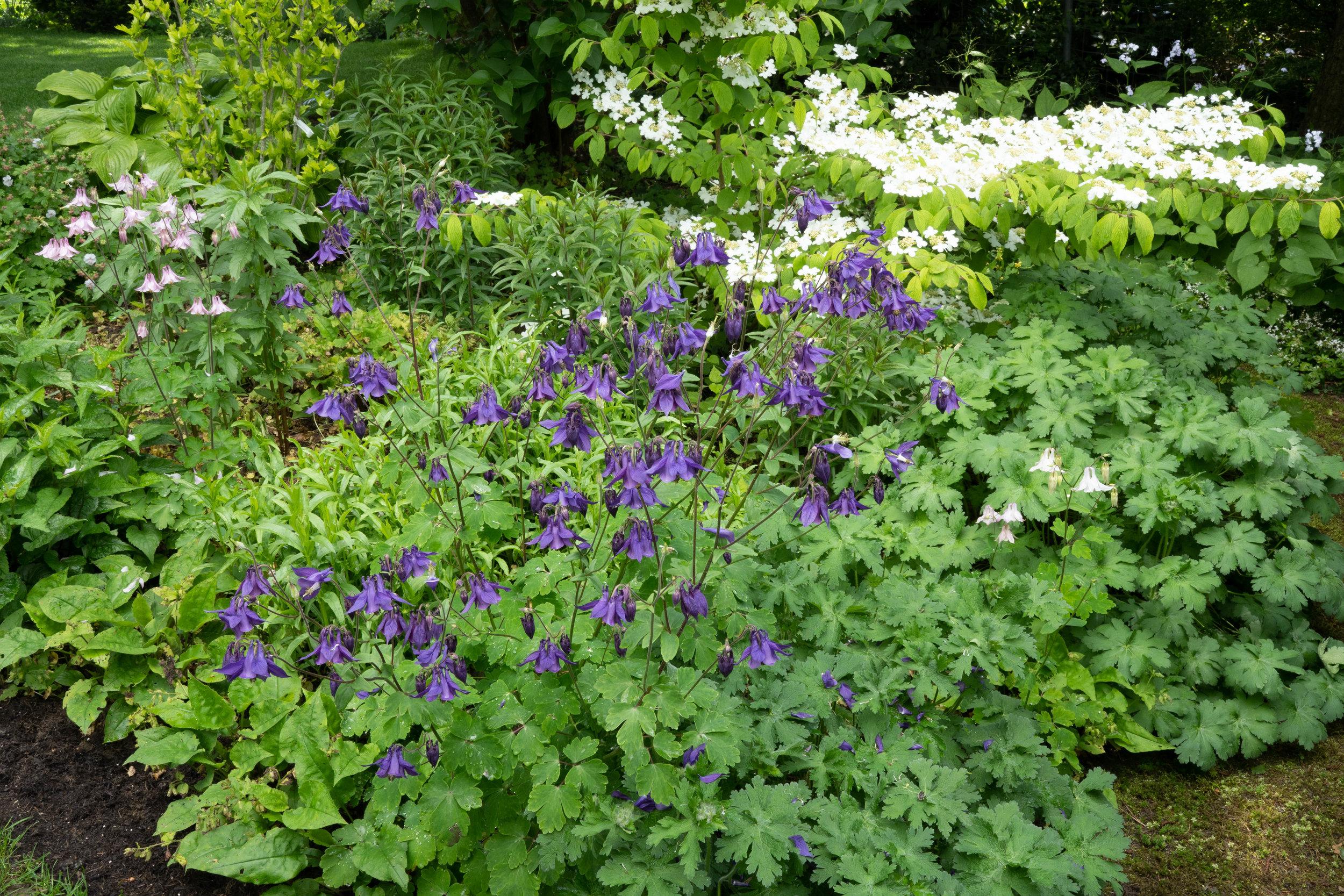 Aquilegia vulgaris (im Hintergrund Viburnum plicatum mariesii) 26.5.2019