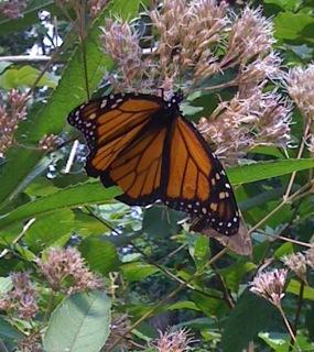 Monarch2.jpg
