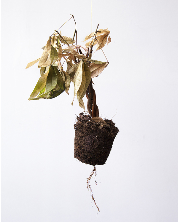 dying money tree in the last stage of enlightenment and will not be reborn into any other world