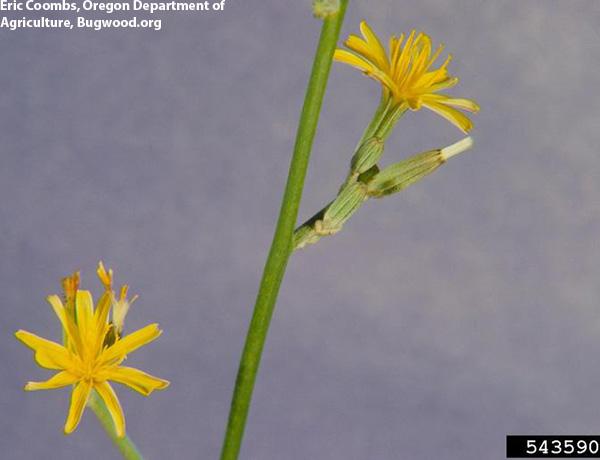 rush skeletonweed,  Chondrilla juncea   *details*