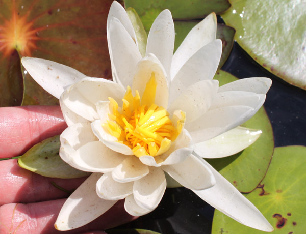 fragrant water lily,  Nymphaea odorata   *details*