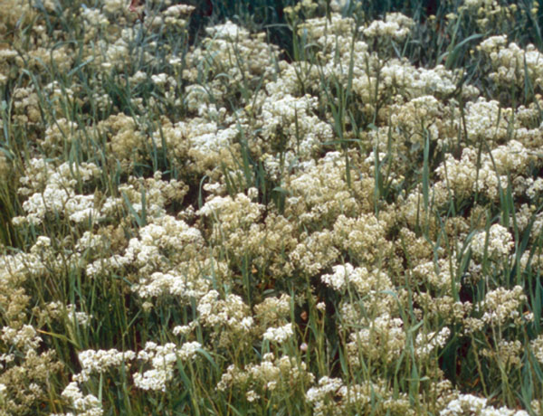 hoary cress,  Lepidium draba   *details*