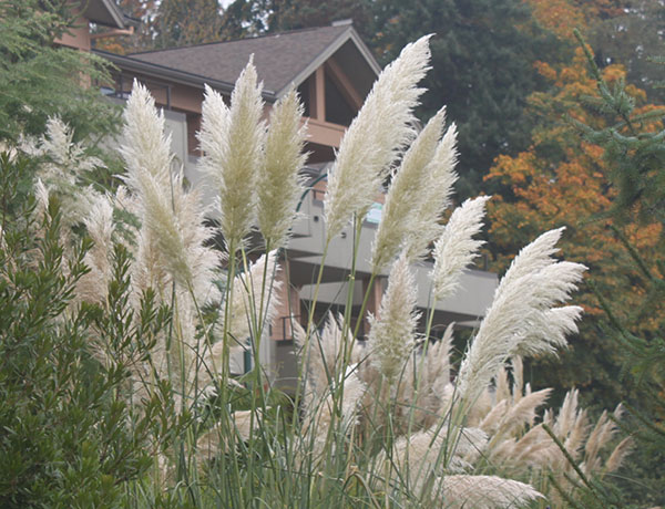 pampas grass,  Cortaderia selloana   *details*