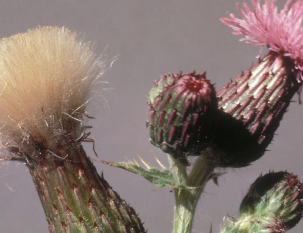 Canada thistle,  Cirsium arvense   *details*