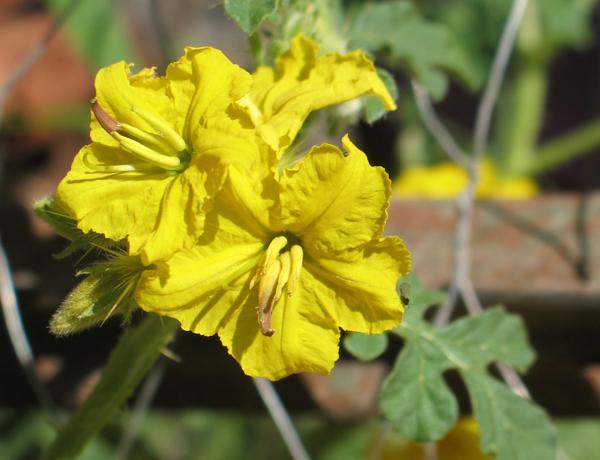 buffalobur,  Solanum rostratum   *details*
