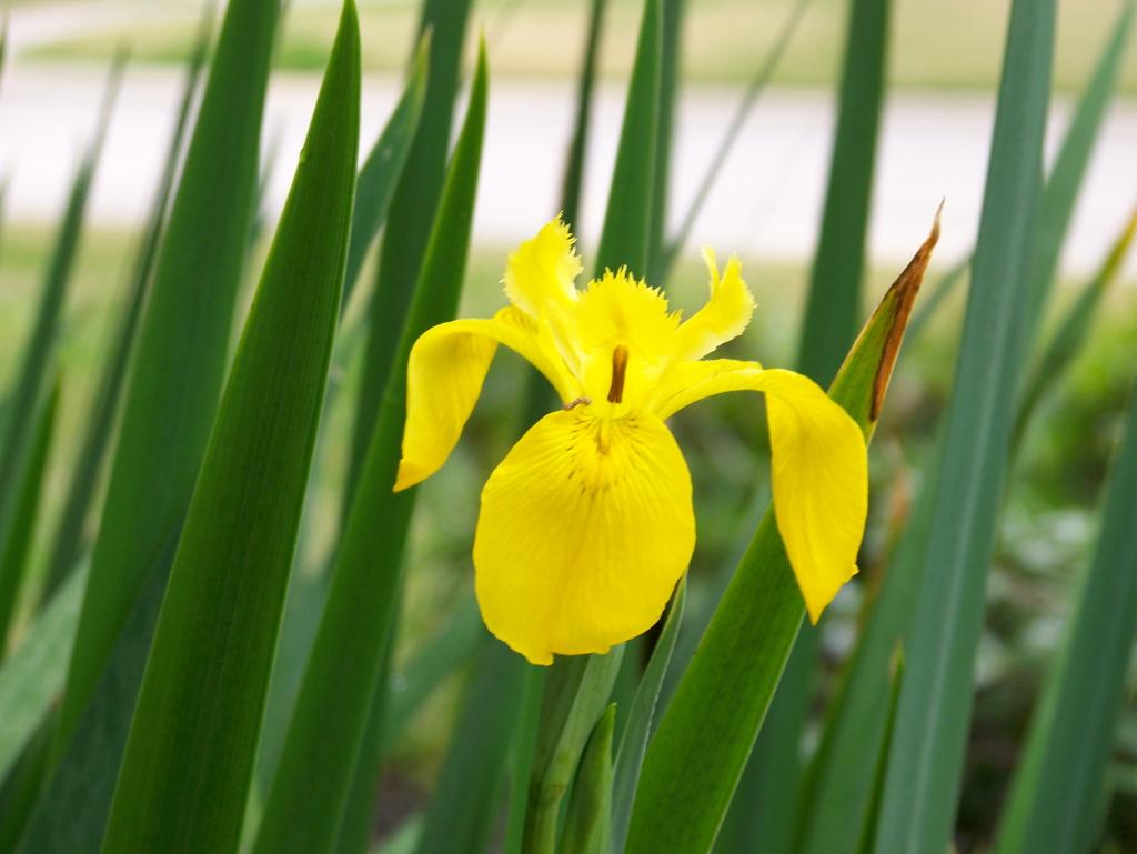 yellow-flag-iris.jpg