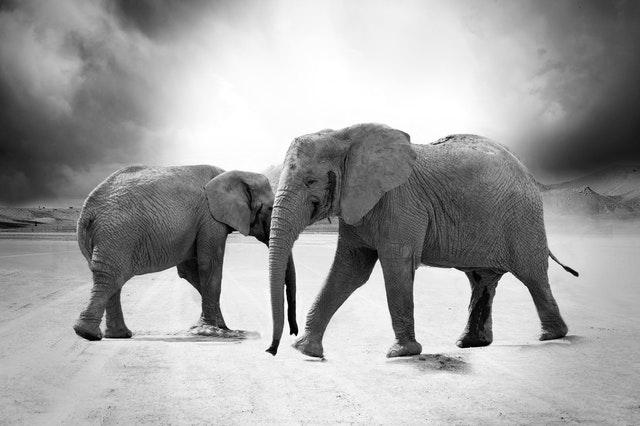 elephant-ivory-animals-africa.jpg