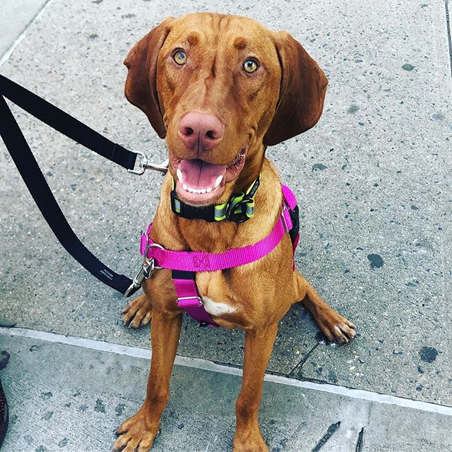 Astro is the little brother of a #vizsla, nova who worked with @shelbysemeldogtraining 5 years ago.  2 human kids and a puppy later, we get to work with this family again 😀👨‍👩‍👦‍👦 . . . #puppy #siblings #dogtraining #family #nyc #leashtraining