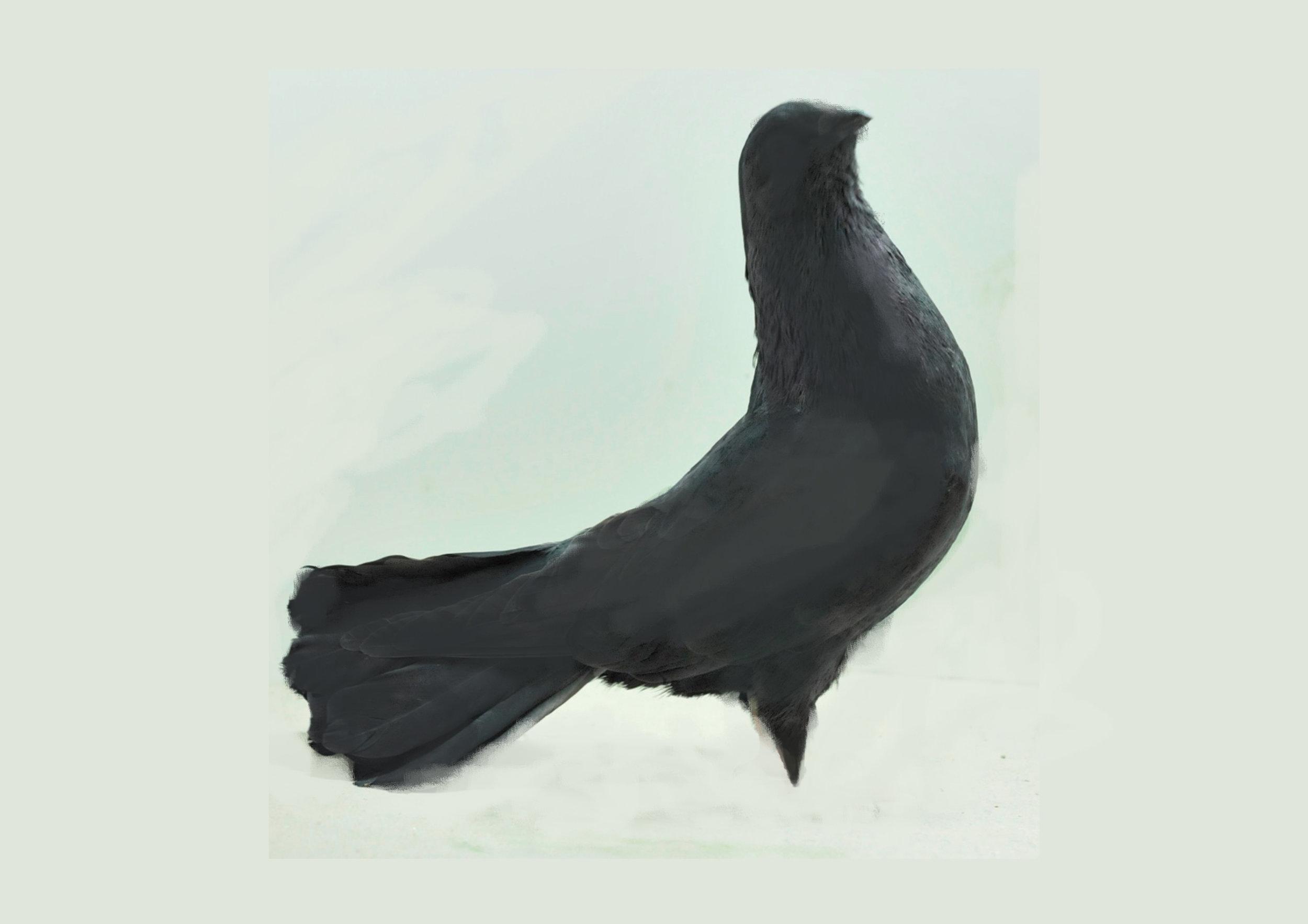 Syrian fantail drawing.jpg