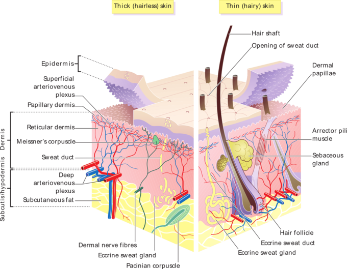 The skin is the organ of the body with the greatest number of nerve fibers. We could even say that the skin is purely Nervous System from the embryonic phase. It is formed from the same cell stratum as the Central Nervous System and the Spinal Cord, that is why we can access the Nervous System trough the skin.