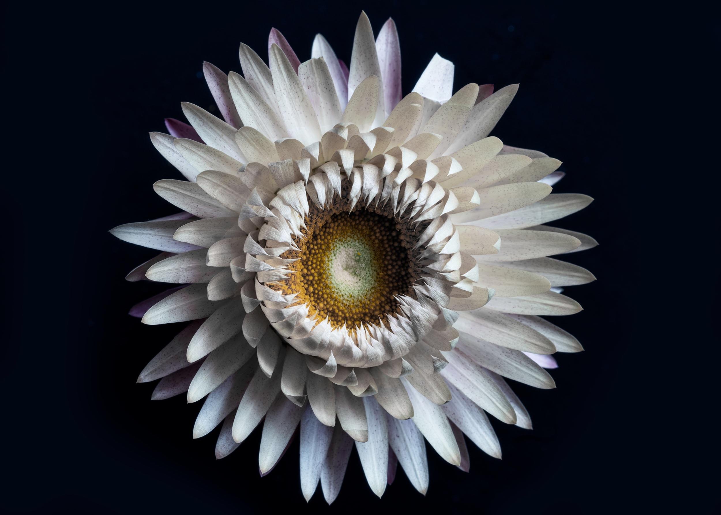 Paper daisy_DSC1360_.jpeg