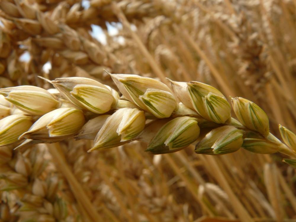 Wheat germ.jpg