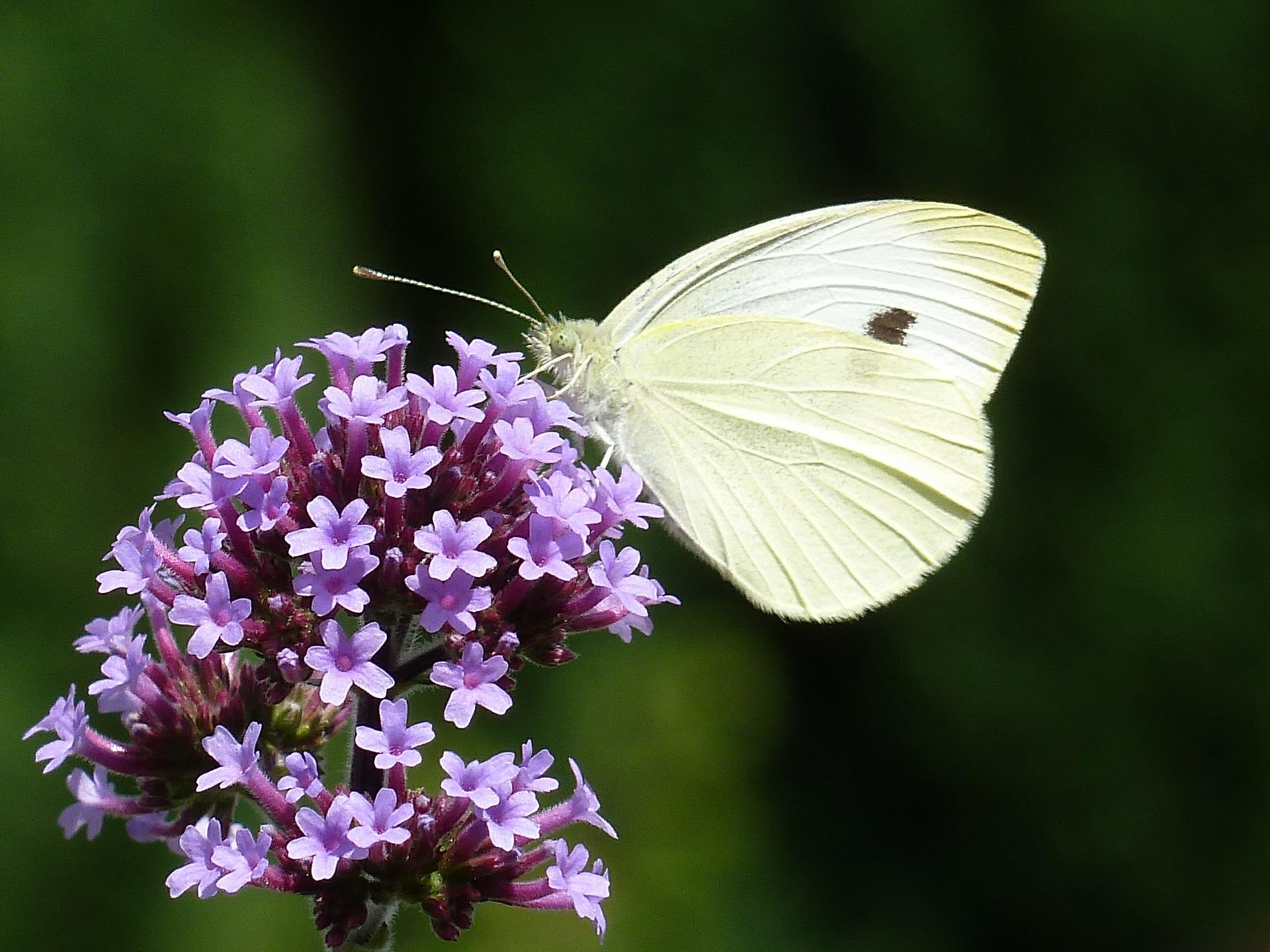 Verbena & Butterfly