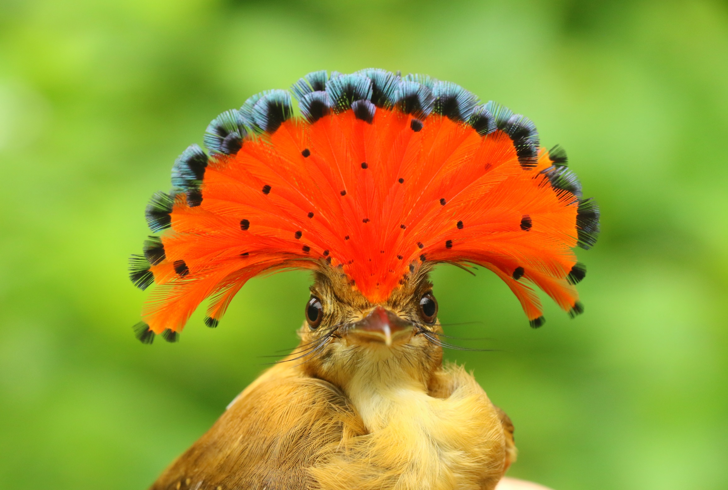 Royal Flycatcher.JPG