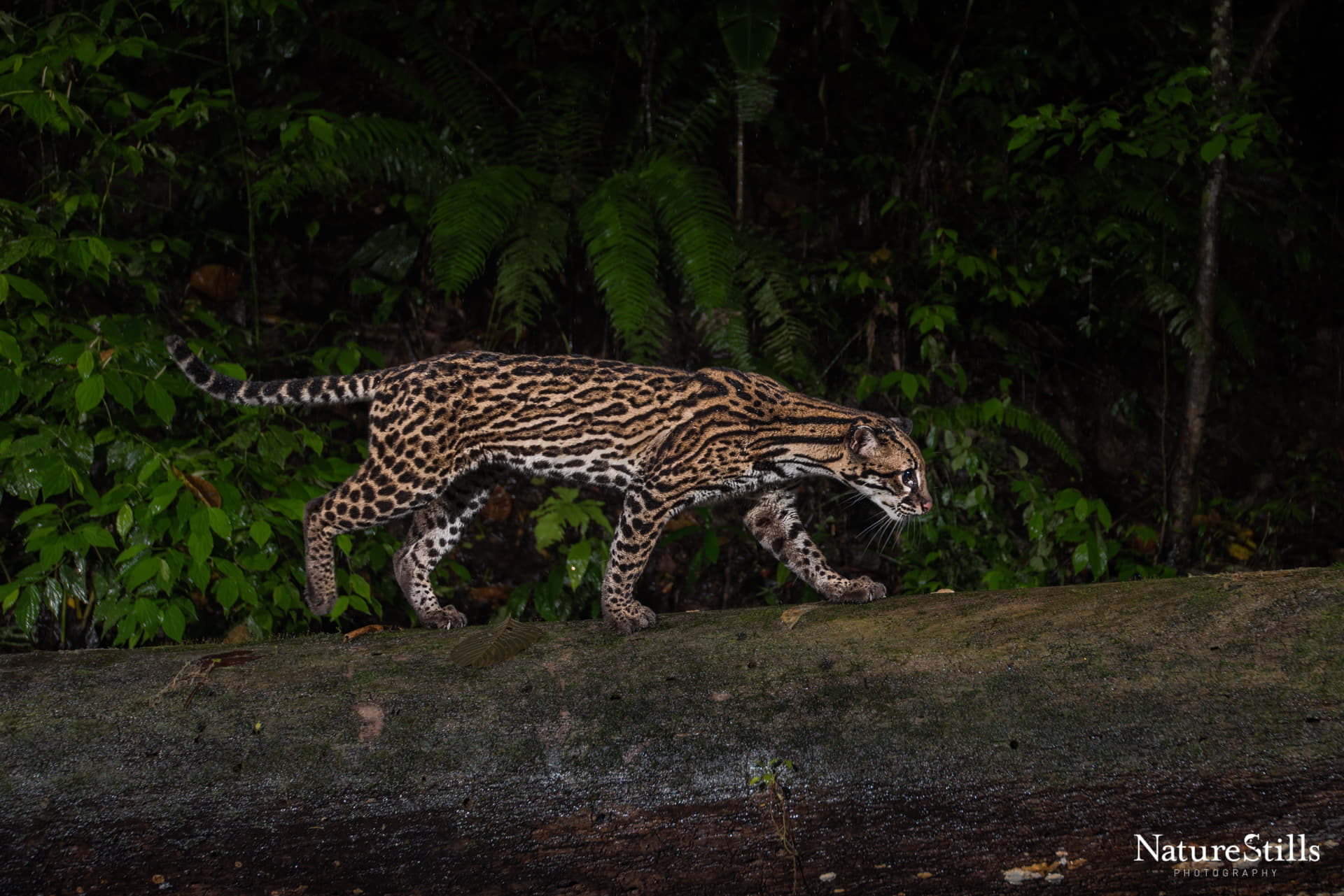 Ocelot in JCR - photograph by Ryan's friend at NatureStills.jpg