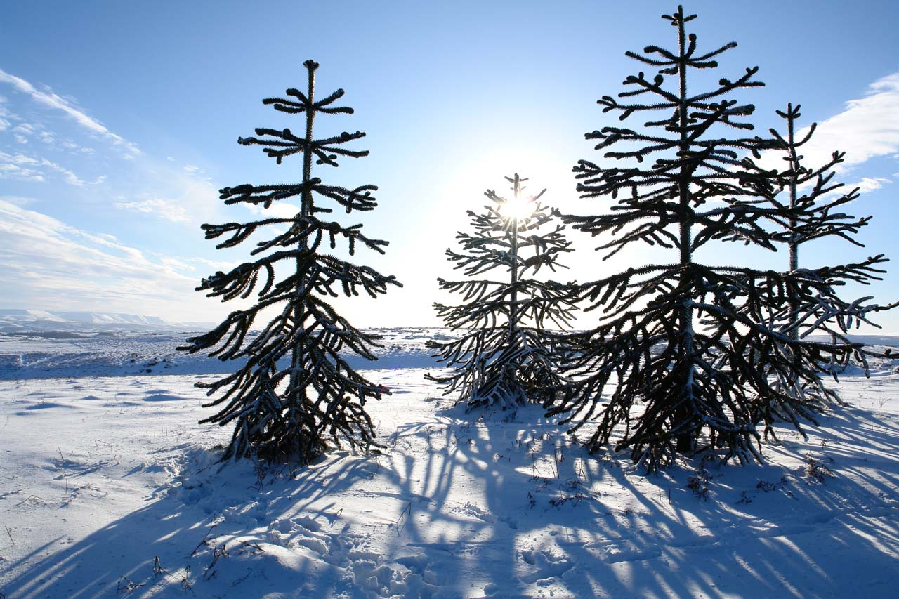 Winter: South American Monkey Puzzle trees near the crest of Hergest Ridge