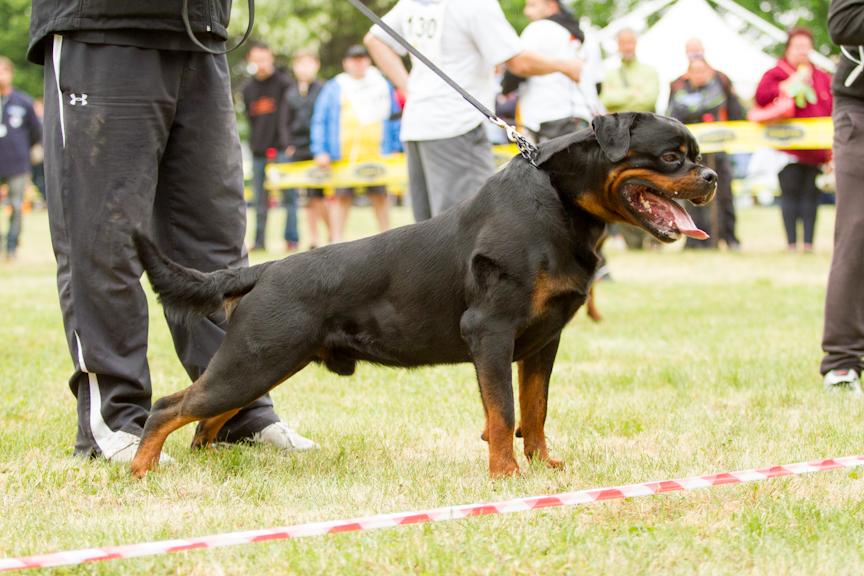 Purebred German Rottweiler