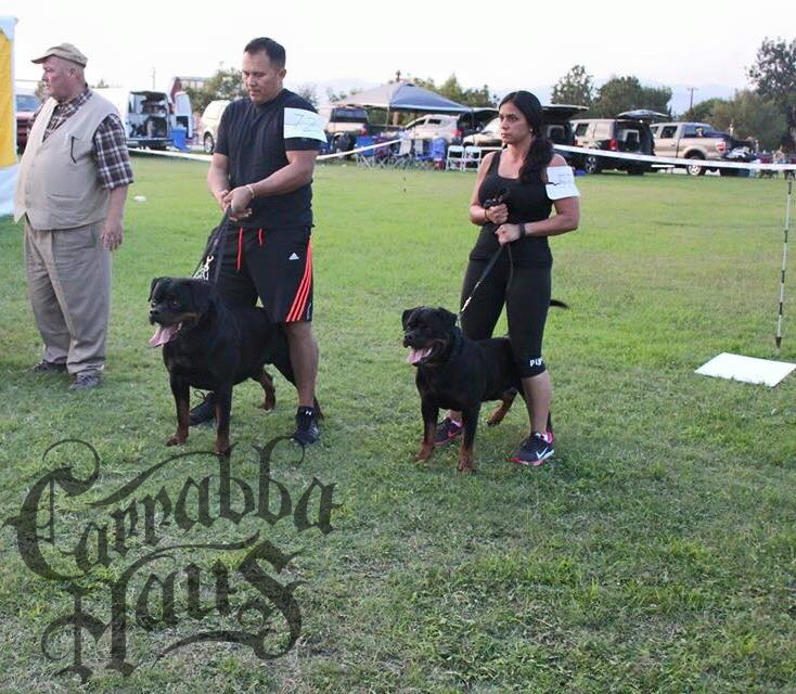 Purebred   German Rottweiler   Puppies for Sale.